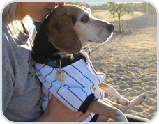 A picture of our beloved beagle Pushkin at the dog run with mom, Sharon Discorfano